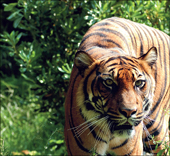 biodiverse08_4_tiger2
