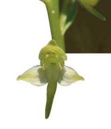 Gronvit-nattviol